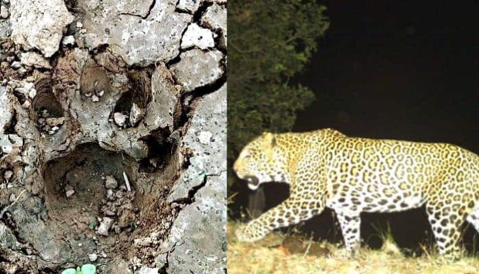 बघराई के जंगल में तेंदुए के फिर मिले पदचिह्न,लोगों में दहशत